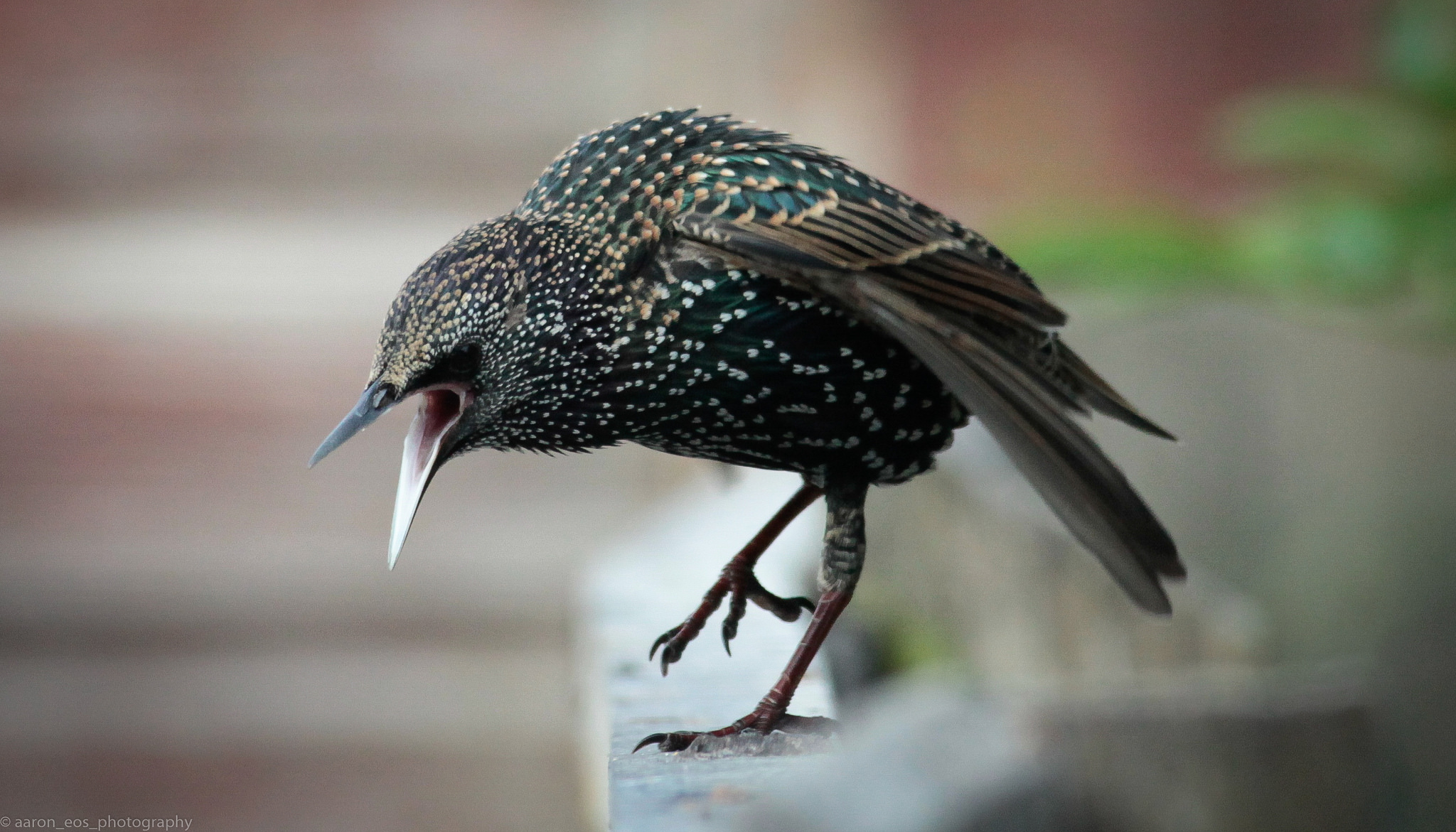 Diseases associated with Pigeons, Starlings & English Sparrows